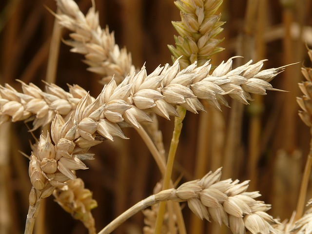 špice pšenice.jpg